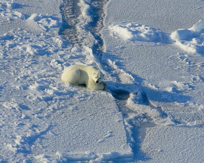 온난화로 북극해 빙하가 녹아 생존 위기에 처한 북극곰. 미국지질조사국제공