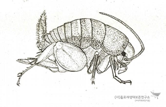 개미집귀뚜라미