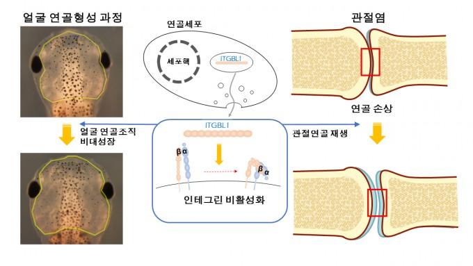 UNIST 연구진의 실험결과. 'ITGBL1' 유전자를 발현시키면 인테그린 신호가 억제돼 올챙이 얼굴뼈가 커지고 관절 연골도 재생된다. UNIST 제공.