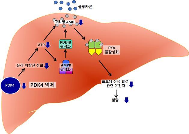 경북대 연구진은 PDK4 호르몬이 억제되면 포도당 신생 합성 역시 감소한다는 사실을 밝혀냈다. 경북대 제공..