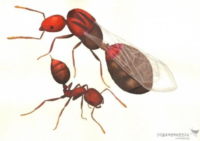 붉은불개미(여왕개미와 일개미)