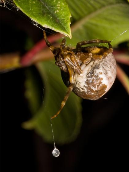 볼라스 거미 사냥 방법(Matt Coors, spiderbytes.org)