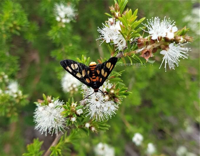 애기나방속(Amata trigonophora)