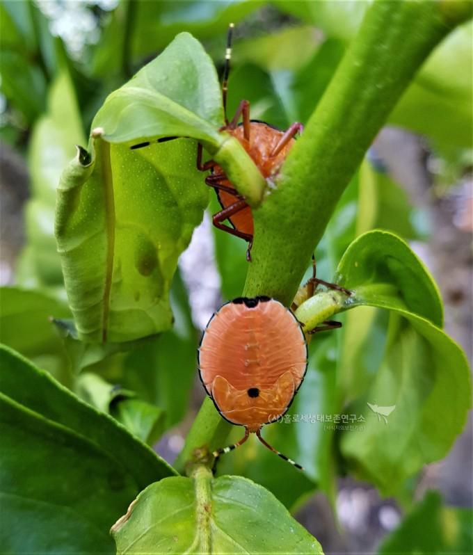 시트러스 청동노린재(Musgraveia sulciventris)