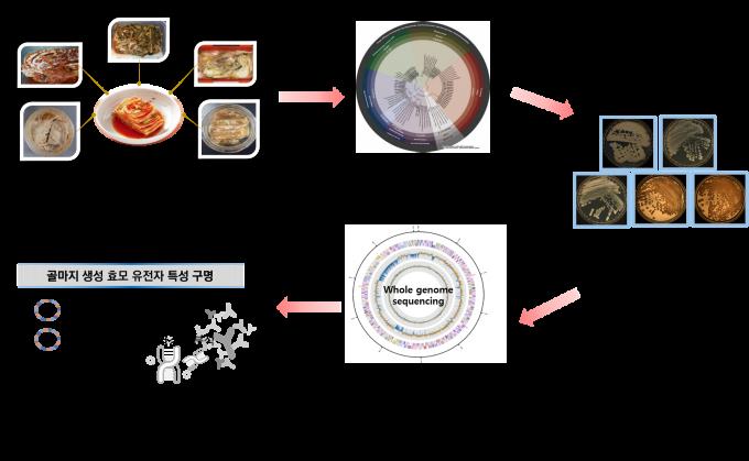 곰팡이로 오해 받은 김치 표면의 흰색막은 5종의 독성없는 효모로 이뤄진 골마지로 밝혀졌다.-세계김치연구소 제공