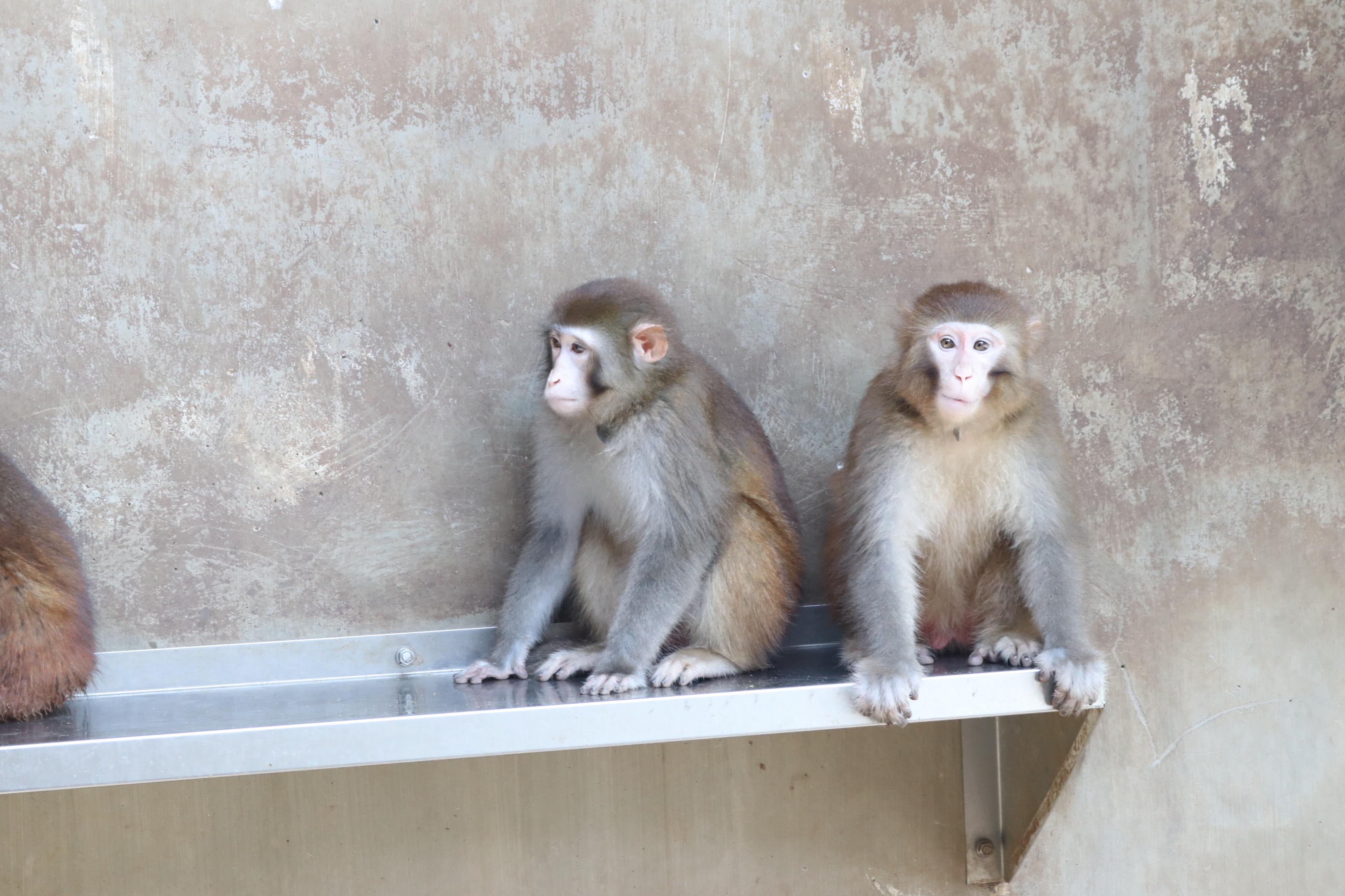 붉은털원숭이의 모습이다. 한국생명공학연구원 제공