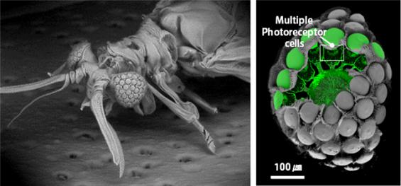 곤충 눈 구조 모방한 초박형 카메라 나왔다