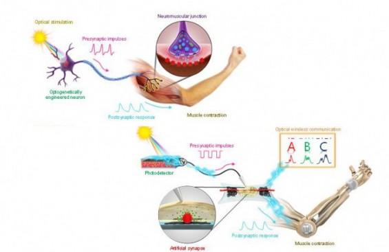 인공근육 제여하는 인공신경 나왔다