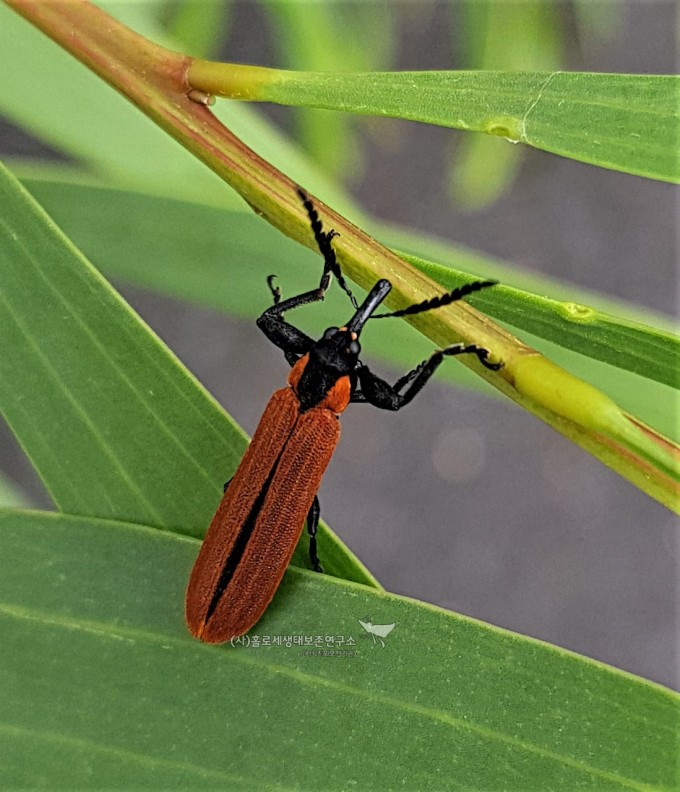 Red Weevil (Rhinotia haemoptera)붉은길쭉바구미