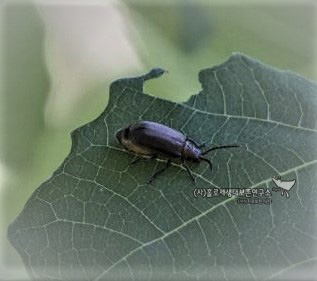 Australian Leaf Beetle (Chrysomelidae family sp.)호주잎벌레