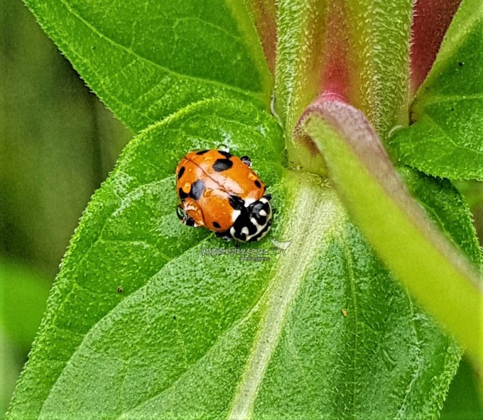 Spotted Amber Ladybeetle (Hippodamia variegata)점박이호박무당벌레