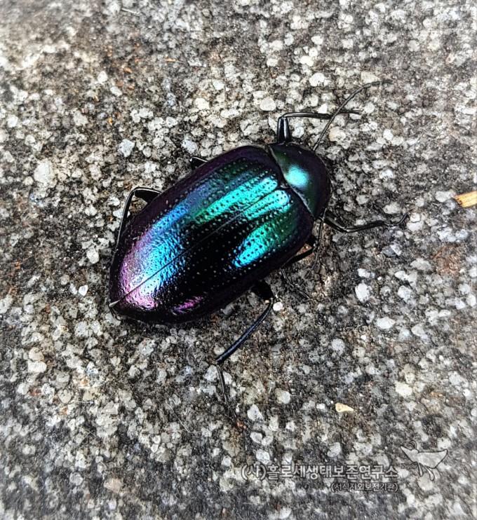 Chalcopterus Beetle (Chalcopteroides sp)구리날개거저리