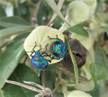 목화광대노린재 애벌레(Tectocoris diophthalmus)