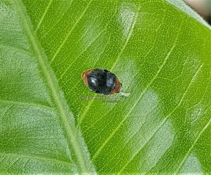 Mealybug ladybird (Cryptolaemus montrouzieri)애기무당벌레류