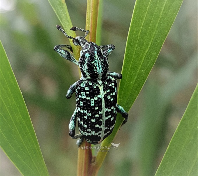 Diamond Weevil (Chrysolopus spectabilis) 다이아몬드 곰보바구미