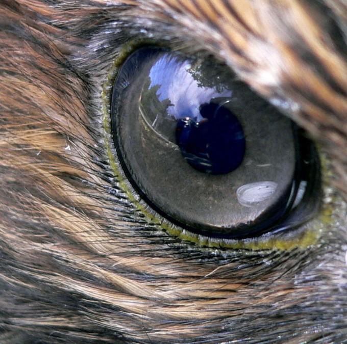 매나 독수리 같은 맹금류는 눈의 해상도가 사람에 비해 4~8배 높다. 시력 5.0인 매가 65인치 TV를 본다면 최대 6.55m 거리에서 8K 영상과 4K 영상을 구분할 수 있다. 붉은꼬리말똥가리의 눈. 위키피디아 제공
