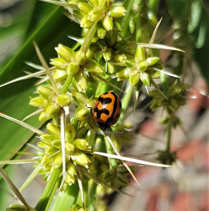 Transverse Ladybird (Coccinella transversalis)가로무늬무당벌레