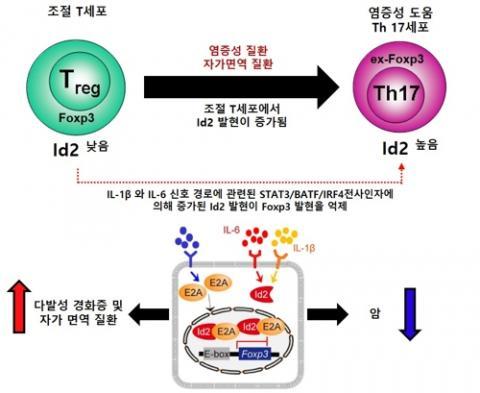 최근 면역 미생물 공생 연구단은 중요한 연구 성과를 잇달아 발표해 주목을 받고 있다. '네이처 커뮤니케이션즈' 11월 9일자에 실은 논문에서 연구단은 Id2 유전자의 발현이 자가면역질환과 암에서 반대로 작용함을 밝혀 면역 치료제 개발에 새로운 통찰을 제시했다. IBS 면역 미생물 공생 연구단 제공