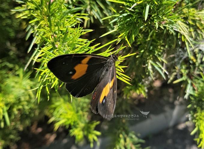 갈풀뱀눈나비(호주 고유종, Tisiphone abeona)