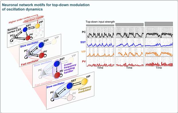 뇌파의 생성 및 변조를 담당하는 핵심 신경회로. KAIST 제공.