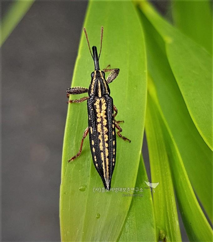 Semi-punctated Belid Weevil (Rhinotia semipunctata)밝은길쭉바구미