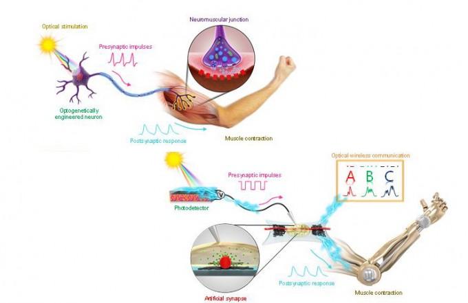 생물체의 신경(위)과 인공신경(아래)을 비교한 이미지. 서울대 제공