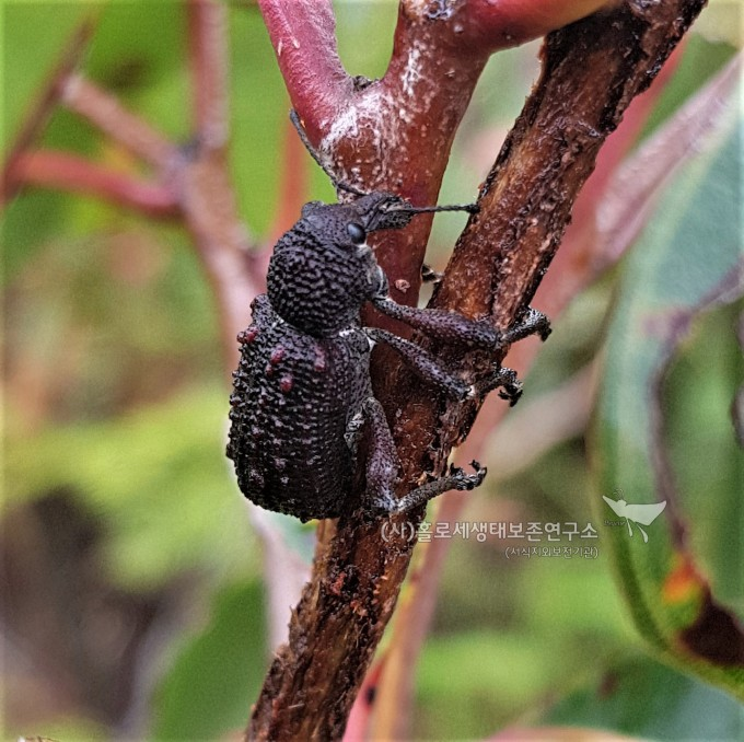 ②Black Vine Weevil (Otiorhynchus sulcatus)검포도바구미