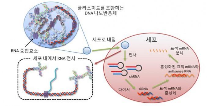 명지대 연구진은 세포 속에서 치료용 유전물질을 생산해 각종 난치병을 치료할 수 있는 기술을 개발했다. 명지대 제공.