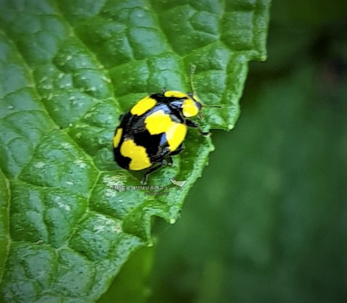 Fungus-eating Ladybug (Illeis galbula)식균무당벌레