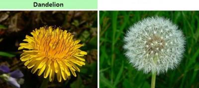 서양민들레의 꽃(왼쪽 : 사실은 작은 꽃 100여 개로 이뤄진 두상꽃차례)과 꽃이 진 뒤 꽃자루 끝에 달린 씨앗(사실은 열매), 말단의 갓털이 공 모양을 이룬 모습(오른쪽). 이번 민들레 씨앗 실험에 쓰인 종이다. - 위키피디아 제공