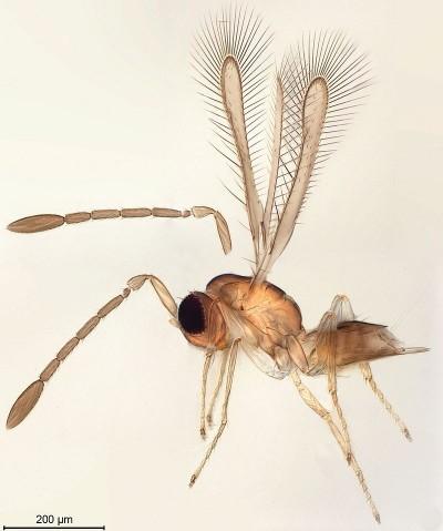 몸길이가 1㎜ 내외인 곤충은 필라멘트가 배열된 형태의 날개로도 날 수 있다. 레이놀즈 수가 아주 작아 공기의 점성이 큰 역할을 하기 때문이다. 요정파리의 일종인 아레스콘(Arescon)속(屬) 곤충의 모습이다. - 제공 위키피디아