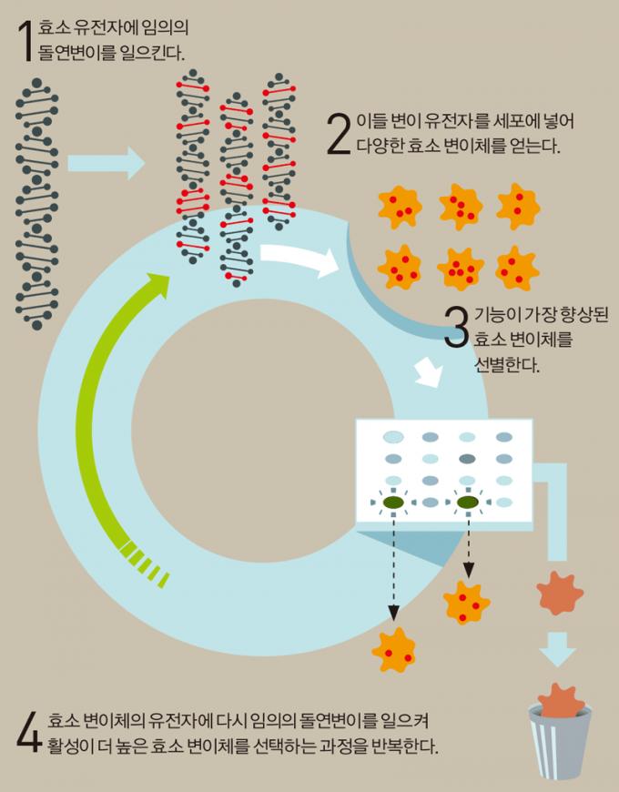 효소의 방향적 진화 : 효소란 단백질 촉매로 세포 안에서 일어나는 화학 반응을 도와주는 일을 한다. 자료 : 노벨상 위원회, 일러스트 동아사이언스