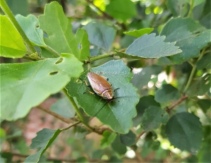 바퀴벌레과