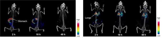 방사성 동위원소로 표지한 미세먼지를 구강으로 넣었을때 약 2일반에 미세먼지가 모두 배출됐다(왼쪽). 반면 기도를 통해 넣은 경우 폐등에 쌓였으며, 2일이 지나도 대부분 몸에 남아있는 것이 확인됐다.-한국원자력연구원 제공