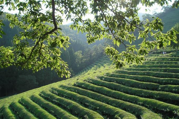 전남 보성의 차밭에 있는 차나무는 중국종으로 크기가 작고 잎도 작다. 곡우 전에 따는 어린 잎으로 만든 우전(雨前)과 그 직후 딴 잎으로 만든 세작(細雀)은 고급 잎차다. 위키피디아 제공
