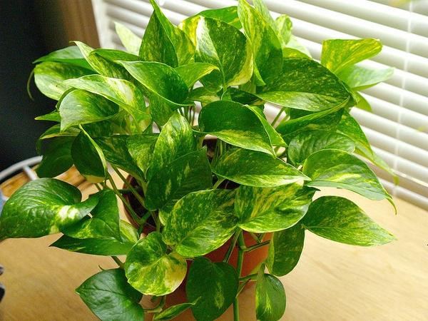 담쟁이과 식물로 알려진 스킨답서스(Epipremnum aureum)에 일종인 포도스 아이비(pothos ivy)로 공기정화를 위해 실내 장식에 많이 쓰인다. 미국 워싱턴대 연구진이 토끼의 유전자를 도입해 공기정화능력을 5배 높이는데 성공했다.-노스캐롤라이나주립대 제공