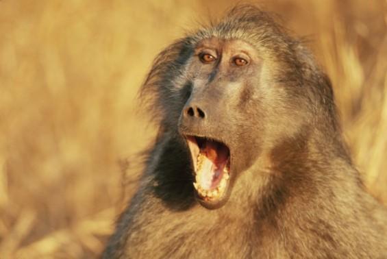돼지 심장 이식받은 개코원숭이 195일 살았다