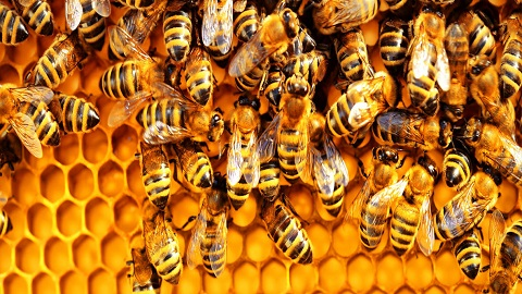 멸종위기 꿀벌 살릴 백신 첫 개발