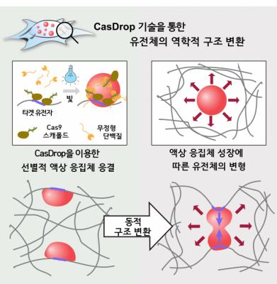 세포 속 액체방울로 게놈 조절 가능해졌다