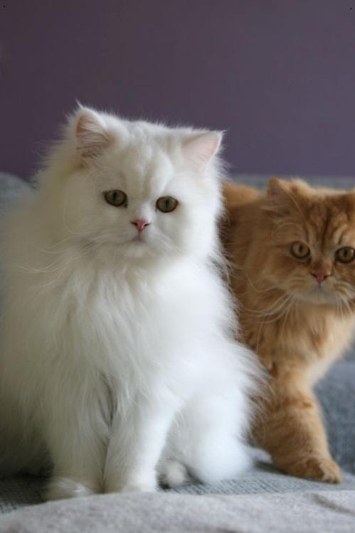 페르시아고양이처럼 털이 긴 품종은 혀로 핥을 때 유두가 피부까지 닿지 못해 털 관리가 제대로 되지 않는다. 고양이 혀를 모방한 빗이 나온다면 주인들이 수고를 꽤 있을 것이다. 위키피디아 제공