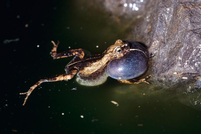 열대 지역에 사는 퉁가라 개구리는 볼을 부풀려 ″뚱-″하는 소리와 ″크릭- 크릭″하는 소리를 내 암컷을 유혹한다. -스미소니언 열대 연구소 제공