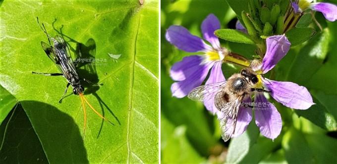 (좌)대모벌과, (우)뒤영벌과