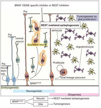 이정호 KAIST 교수팀의 연구 결과. 비라프(BRAF) V600E 돌연변이가 발생해 뇌전증 동반 소아 뇌종양을 유발하는 과정을 설명하고 있다. -사진 제공 KAIST