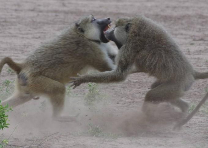 사회적 동물로 분류되는 개코원숭이의 수컷들이서열정리를 위해 격렬하게 몸싸움을 벌이고 있다. -엘리자베스 아치 제공