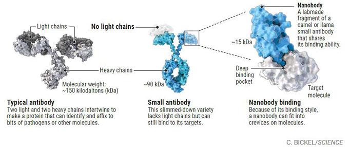 사람 면역계가 만드는 항체는 긴 사슬(옅은 회색) 두 개와 짧은 사슬(짙은 회색) 두 개로 이뤄져 있어 덩치가 크다(왼쪽). 반면 낙타과(科) 동물이나 상어는 긴 사슬 두 개로만 이뤄진 작은 항체를 만들 수 있다(가운데). 작은 항체에서 항원과 인식하는 부분에 해당하는 정보를 담은 DNA조각을 박테리아나 바이러스의 게놈에 넣어주면 나노항체를 만들 수 있다. 아래 흰 분자가 항원이다(오른쪽). '사이언스' 제공