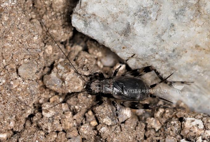 알락방울벌레
