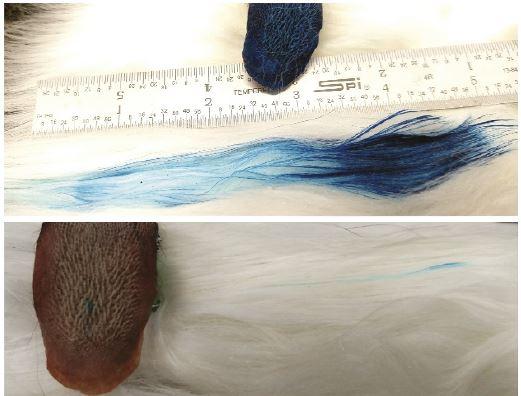 파란 액체를 머금은 고양이 혀로 털을 핥는 실험을 해보면 혀가 지나간 자리의 털로 액체가 옮겨져 털이 파랗게 보인다(위). 아래는 유두 하나에만 액체를 채운 경우로 털 몇 가닥파랗다.  '미국립과학원회보' 제공