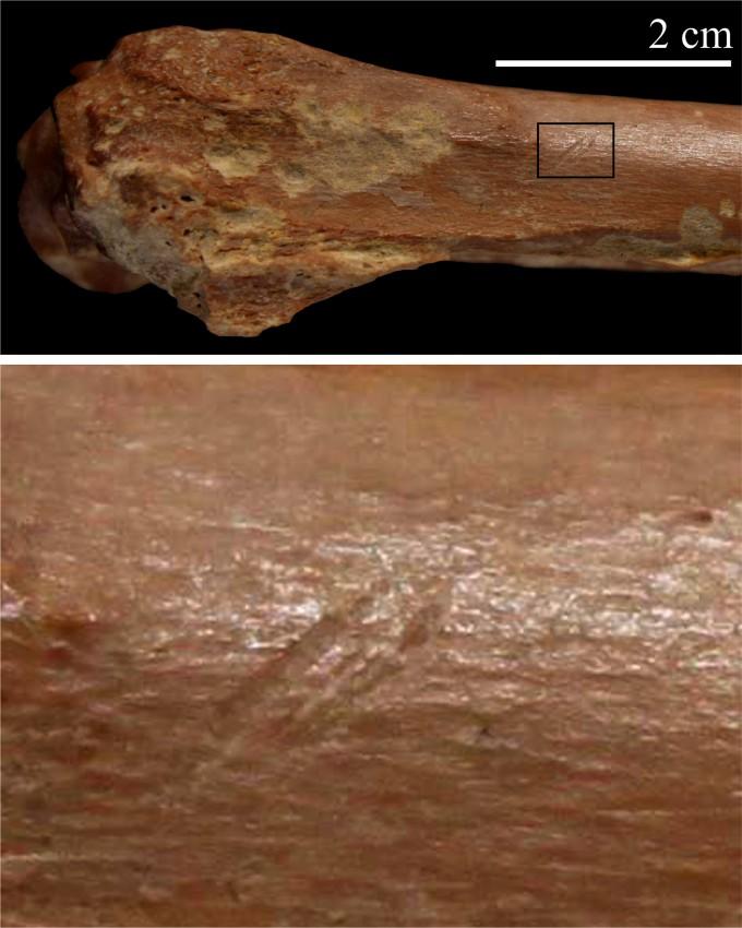 작은 소의 앞다리뼈 화석에 홈이 파여 있다. 석기를 이용해 살을 발라낼 때 생긴 흔적이다. 아래는 확대한 사진. - 사진 제공 사이언스