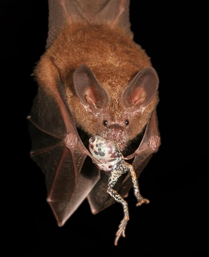 퉁가라 개구리가 이성을 유혹할 때 내는 소리는 이성뿐 아니라 박쥐같은 천적도 유혹한다. -알렉스 보 제공