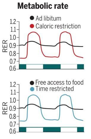 시간제한섭식이 유익한 효과를 내는 이유는 생체리듬과 동조하기 때문이다. (시간제한섭식을 포함하는) 칼로리제한(위 빨간색)과 시간제한섭식(아래 녹색)의 대사율 그래프는 강한 일주리듬을 보이지만 아무 때나 마음대로 먹으면(검은색) 그래프가 밋밋하다. RER은 호흡교환율로 대사율을 나타내는 지표다. RER이 클수록 대사로 생성되는 이산화탄소 양이 소모되는 산소 양보다 많아 대사가 활발하다는 뜻이다. '사이언스' 제공